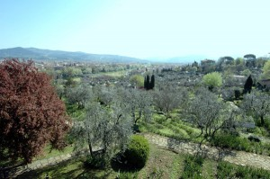 2005 Firenze - ulivi toscani